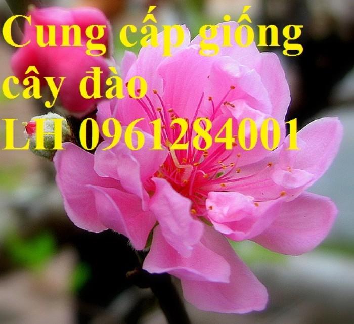 Chuyên cung cấp giống cây đào bạch, đào phai, đào bích, hoa đào cánh kép, số lượng lớn6