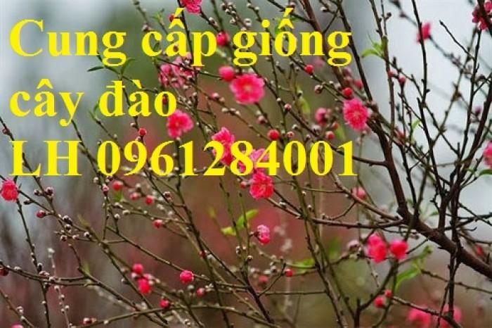 Chuyên cung cấp giống cây đào bạch, đào phai, đào bích, hoa đào cánh kép, số lượng lớn8