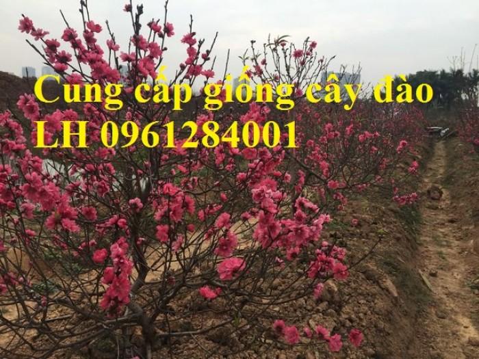 Chuyên cung cấp giống cây đào bạch, đào phai, đào bích, hoa đào cánh kép, số lượng lớn9