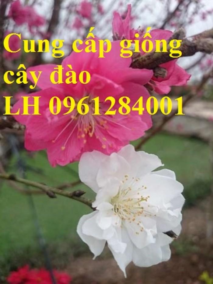 Chuyên cung cấp giống cây đào bạch, đào phai, đào bích, hoa đào cánh kép, số lượng lớn2