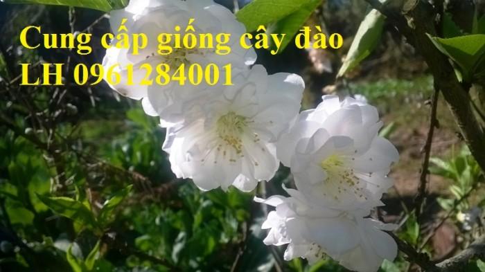 Chuyên cung cấp giống cây đào bạch, đào phai, đào bích, hoa đào cánh kép, số lượng lớn13