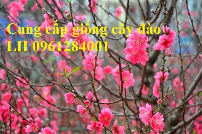 Chuyên cung cấp giống cây đào bạch, đào phai, đào bích, hoa đào cánh kép, số lượng lớn7