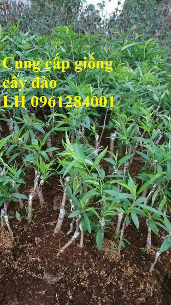 Chuyên cung cấp giống cây đào bạch, đào phai, đào bích, hoa đào cánh kép, số lượng lớn1