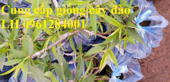 Chuyên cung cấp giống cây đào bạch, đào phai, đào bích, hoa đào cánh kép, số lượng lớn12