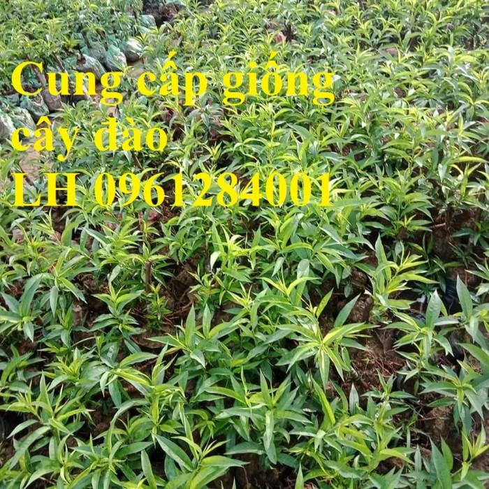 Chuyên cung cấp giống cây đào bạch, đào phai, đào bích, hoa đào cánh kép, số lượng lớn4