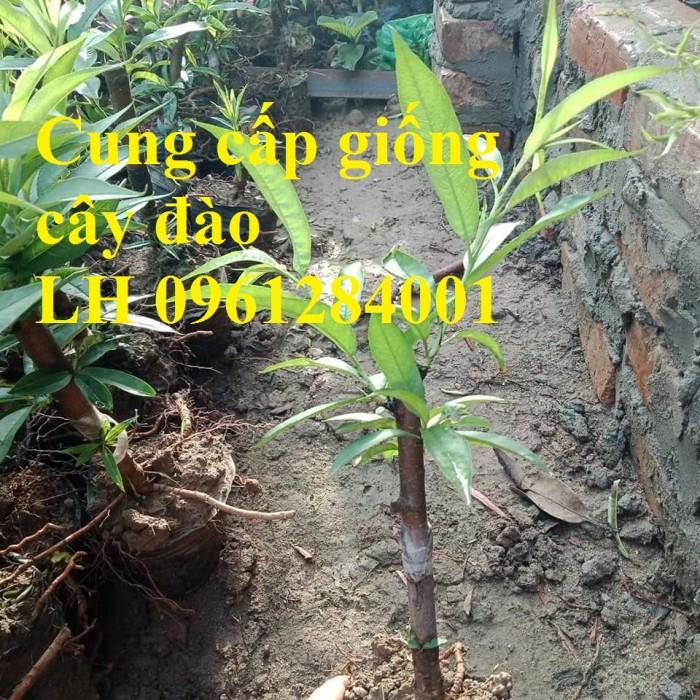 Chuyên cung cấp giống cây đào bạch, đào phai, đào bích, hoa đào cánh kép, số lượng lớn5