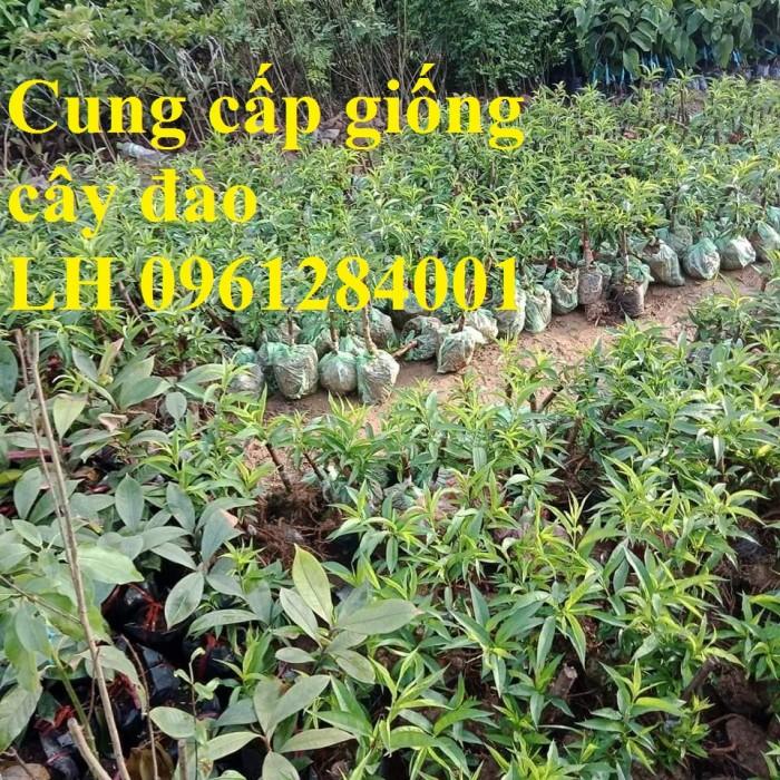 Chuyên cung cấp giống cây đào bạch, đào phai, đào bích, hoa đào cánh kép, số lượng lớn3