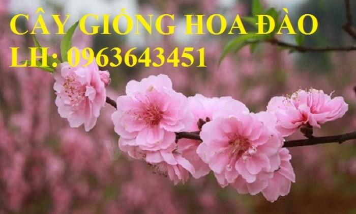 Cung cấp cây giống hoa đào: đào bích, đào phai, đào bạch, đào đỏ, đào 5 cánh, đào hoa kép, uy tín18