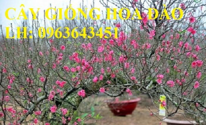 Cung cấp cây giống hoa đào: đào bích, đào phai, đào bạch, đào đỏ, đào 5 cánh, đào hoa kép, uy tín16