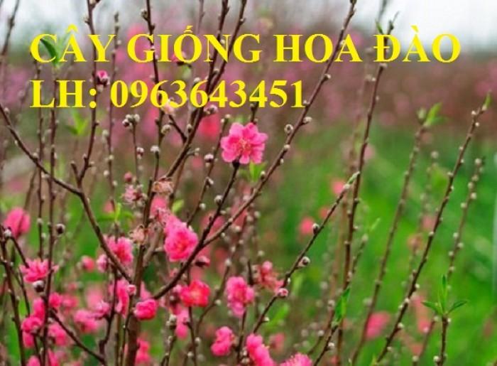 Cung cấp cây giống hoa đào: đào bích, đào phai, đào bạch, đào đỏ, đào 5 cánh, đào hoa kép, uy tín11