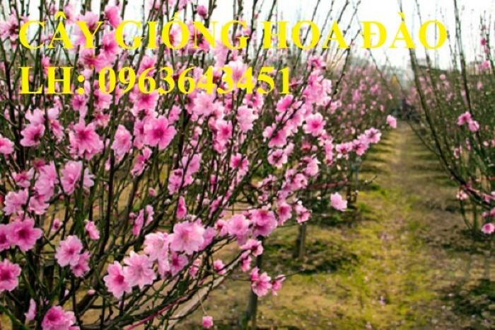 Cung cấp cây giống hoa đào: đào bích, đào phai, đào bạch, đào đỏ, đào 5 cánh, đào hoa kép, uy tín10