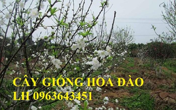 Cung cấp cây giống hoa đào: đào bích, đào phai, đào bạch, đào đỏ, đào 5 cánh, đào hoa kép, uy tín12