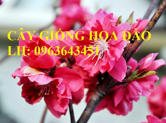 Cung cấp cây giống hoa đào: đào bích, đào phai, đào bạch, đào đỏ, đào 5 cánh, đào hoa kép, uy tín6