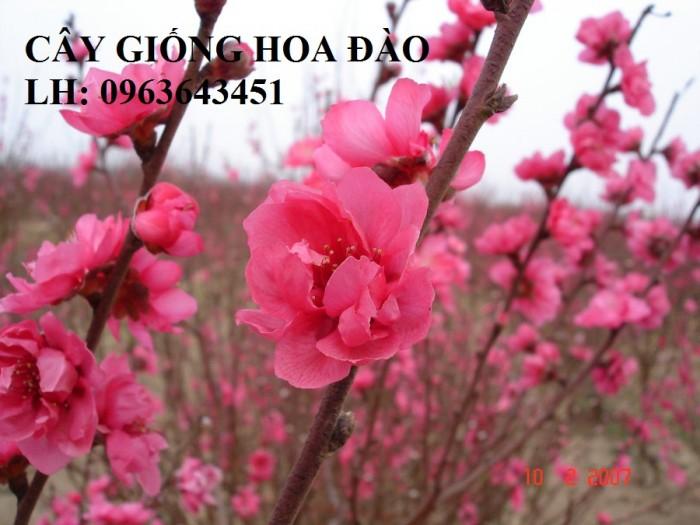 Cung cấp cây giống hoa đào: đào bích, đào phai, đào bạch, đào đỏ, đào 5 cánh, đào hoa kép, uy tín7