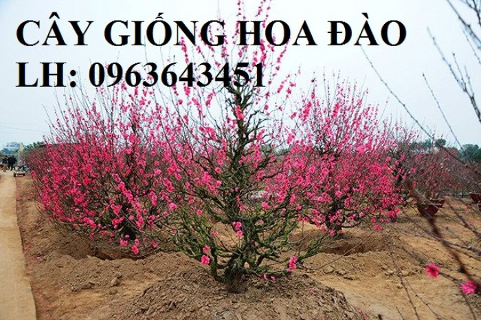 Cung cấp cây giống hoa đào: đào bích, đào phai, đào bạch, đào đỏ, đào 5 cánh, đào hoa kép, uy tín8