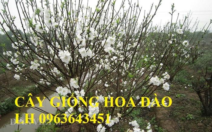 Cung cấp cây giống hoa đào: đào bích, đào phai, đào bạch, đào đỏ, đào 5 cánh, đào hoa kép, uy tín5