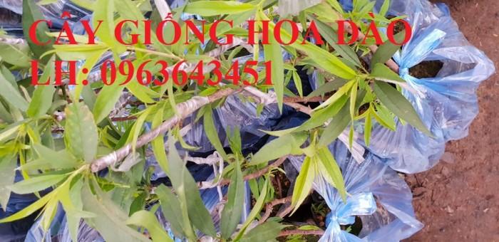 Cung cấp cây giống hoa đào: đào bích, đào phai, đào bạch, đào đỏ, đào 5 cánh, đào hoa kép, uy tín9