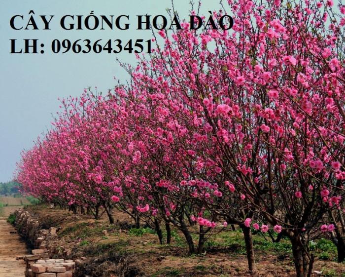 Cung cấp cây giống hoa đào: đào bích, đào phai, đào bạch, đào đỏ, đào 5 cánh, đào hoa kép, uy tín4