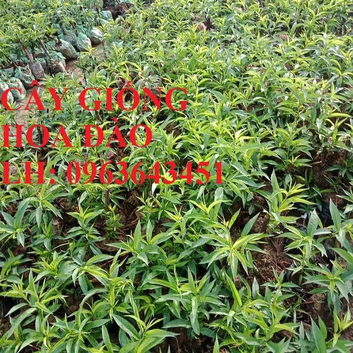 Cung cấp cây giống hoa đào: đào bích, đào phai, đào bạch, đào đỏ, đào 5 cánh, đào hoa kép, uy tín2