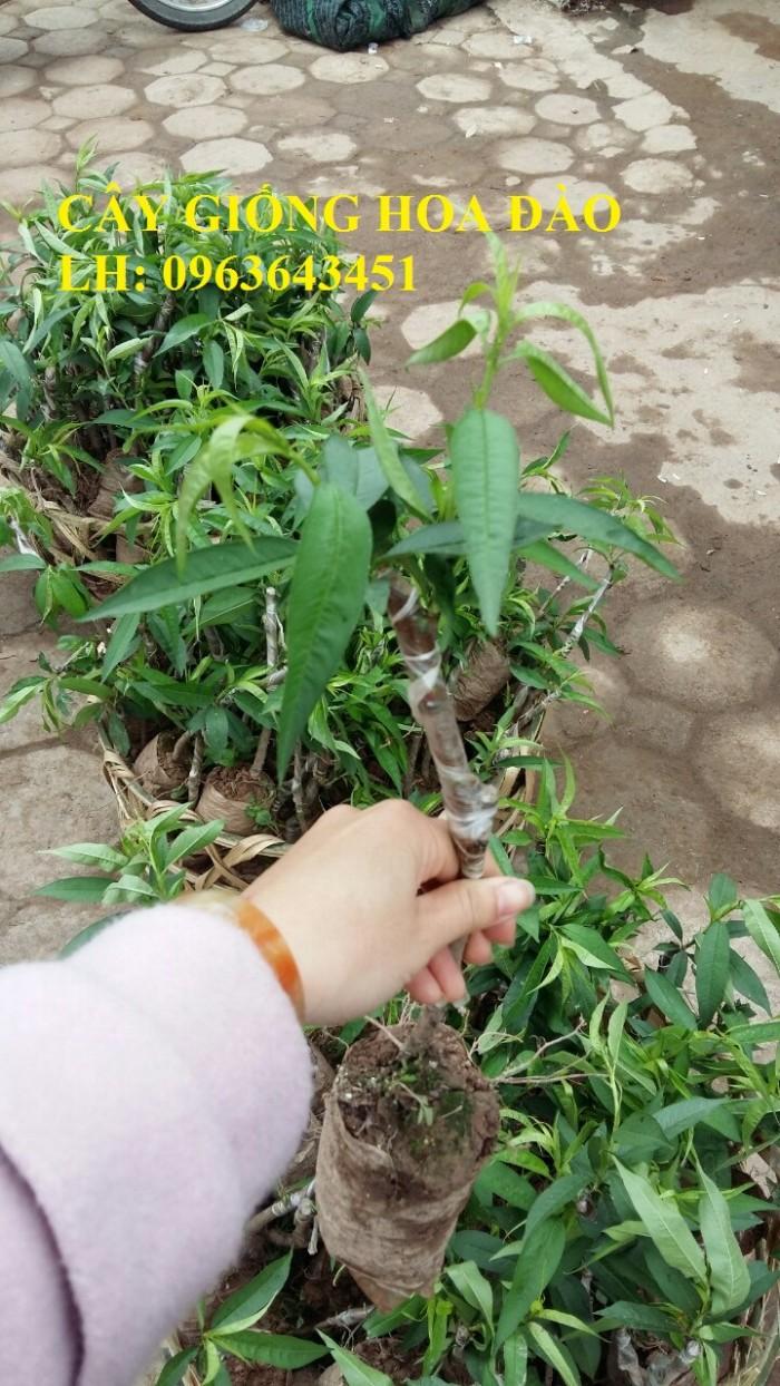 Cung cấp cây giống hoa đào: đào bích, đào phai, đào bạch, đào đỏ, đào 5 cánh, đào hoa kép, uy tín0
