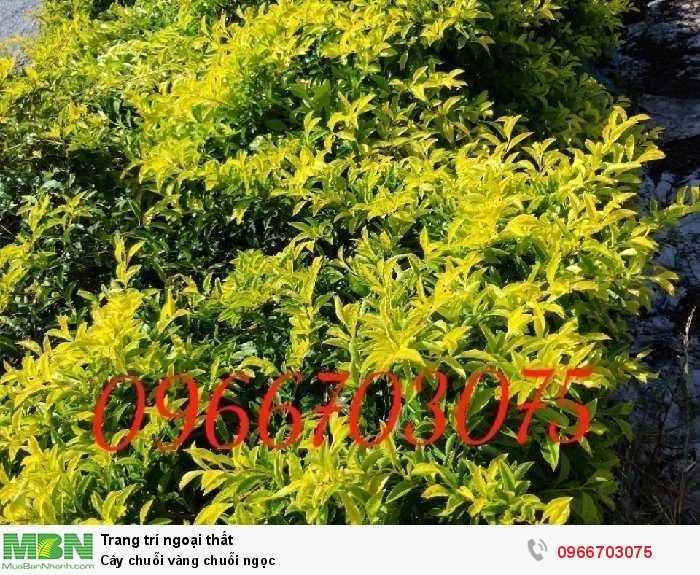 Cây chuỗi vàng chuỗi ngọc1
