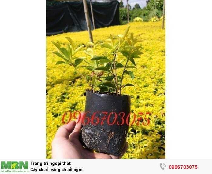 Cây chuỗi vàng chuỗi ngọc3