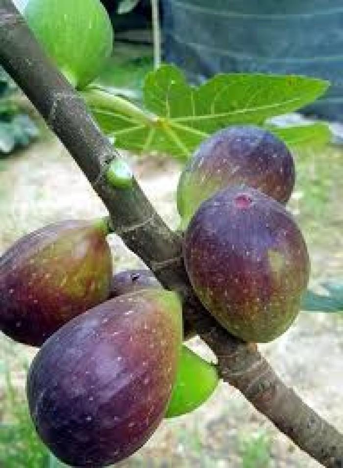Địa chỉ cung cấp giống sung mỹ lùn, cây nhanh ra quả sạch bệnh, chuẩn giống.7