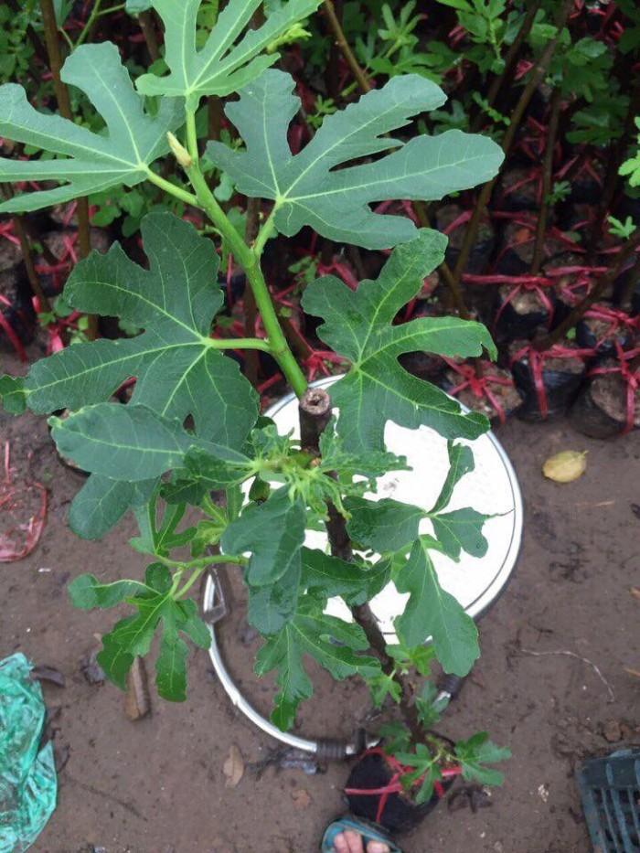 Địa chỉ cung cấp giống sung mỹ lùn, cây nhanh ra quả sạch bệnh, chuẩn giống.5