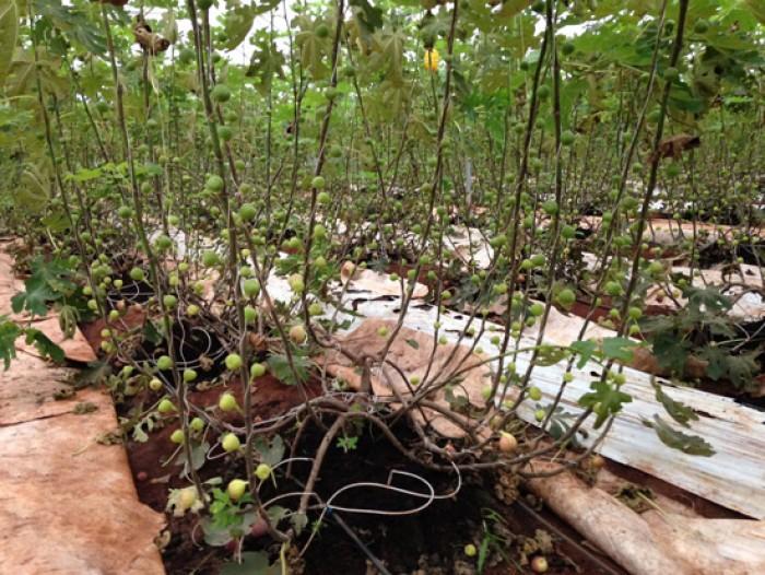 Địa chỉ cung cấp giống sung mỹ lùn, cây nhanh ra quả sạch bệnh, chuẩn giống.2