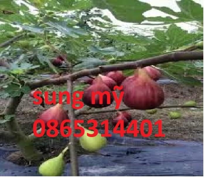 Địa chỉ cung cấp giống sung mỹ lùn, cây nhanh ra quả sạch bệnh, chuẩn giống.3