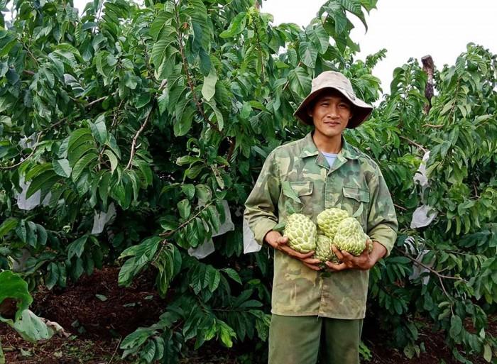 Cung cấp giống cây na Thái Lan quả to khủng 1kg 1 quả. cây trồng tiềm năng lớn5