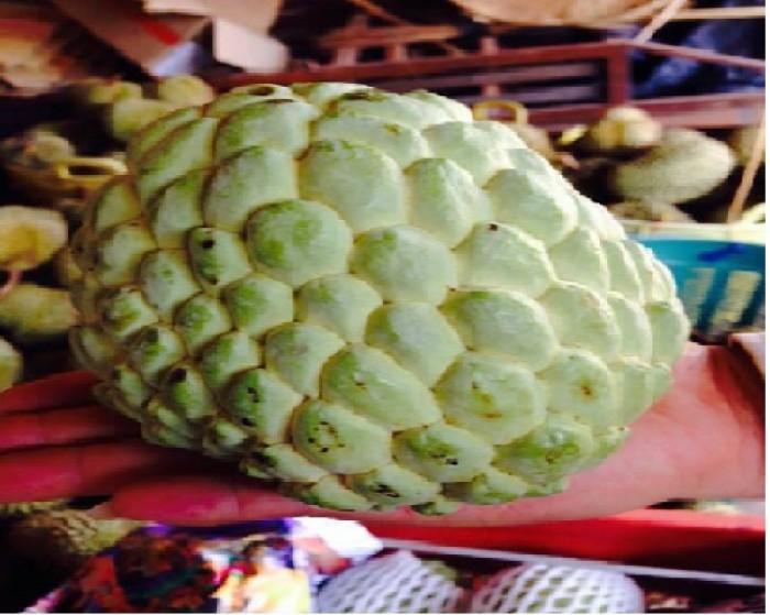 Cung cấp giống cây na Thái Lan quả to khủng 1kg 1 quả. cây trồng tiềm năng lớn3