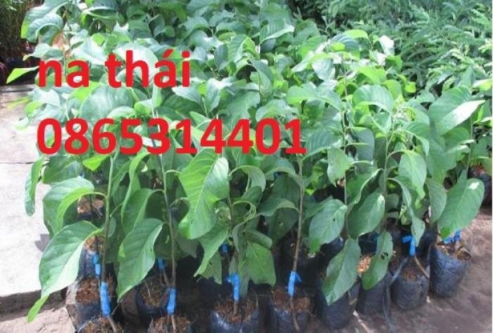 Cung cấp giống cây na Thái Lan quả to khủng 1kg 1 quả. cây trồng tiềm năng lớn4