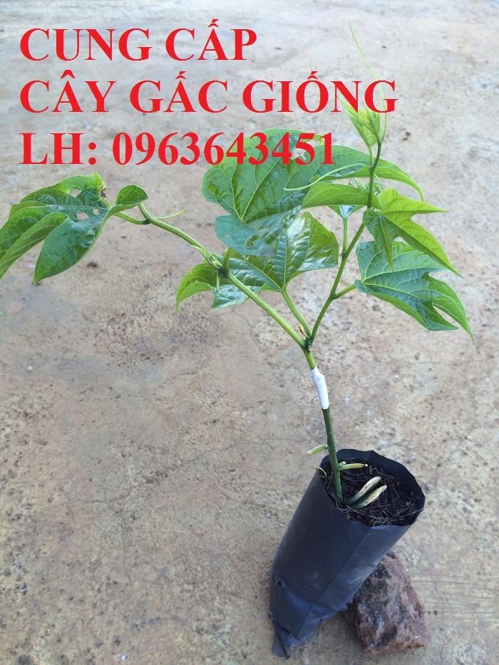 Cung cấp cây giống gấc: Gấc lai cao sản, gấc nếp đỏ, gốc Thái cao sản, chuẩn giống, giá tốt, uy tín0