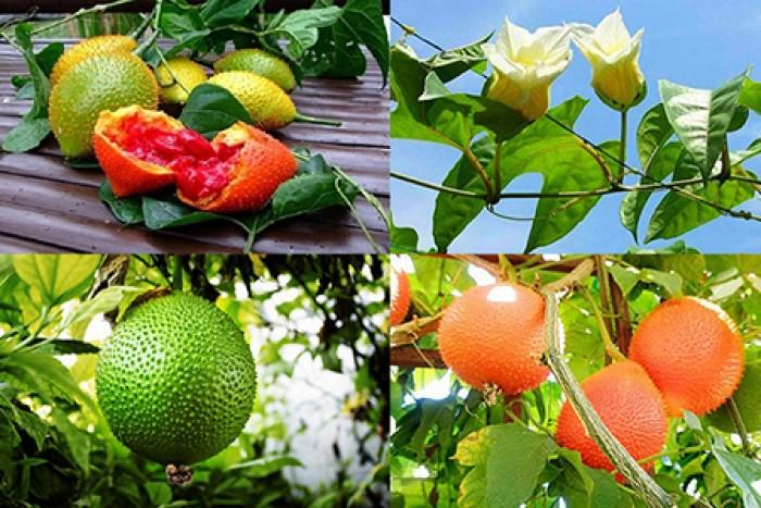 Cung cấp cây giống gấc: Gấc lai cao sản, gấc nếp đỏ, gốc Thái cao sản, chuẩn giống, giá tốt, uy tín2