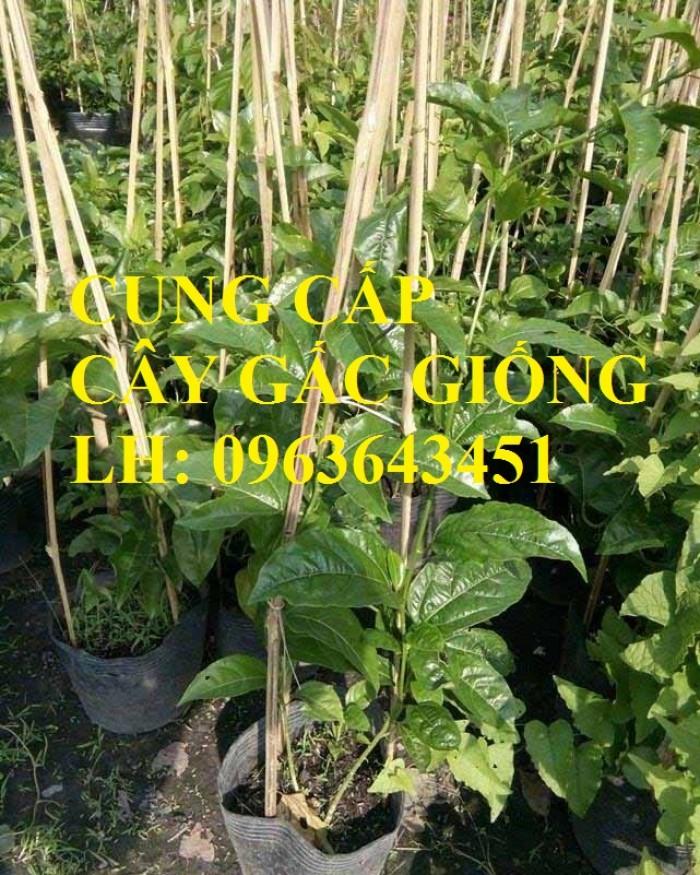 Cung cấp cây giống gấc: Gấc lai cao sản, gấc nếp đỏ, gốc Thái cao sản, chuẩn giống, giá tốt, uy tín1