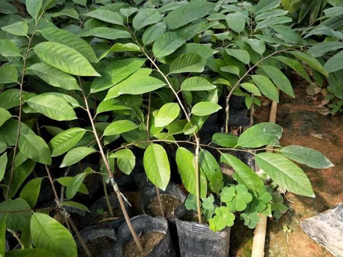 cây giống na đài loan8