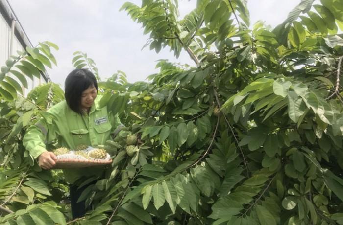 Cây giống ăn quả nhập khẩu, cây na đài loan, giống cây na9