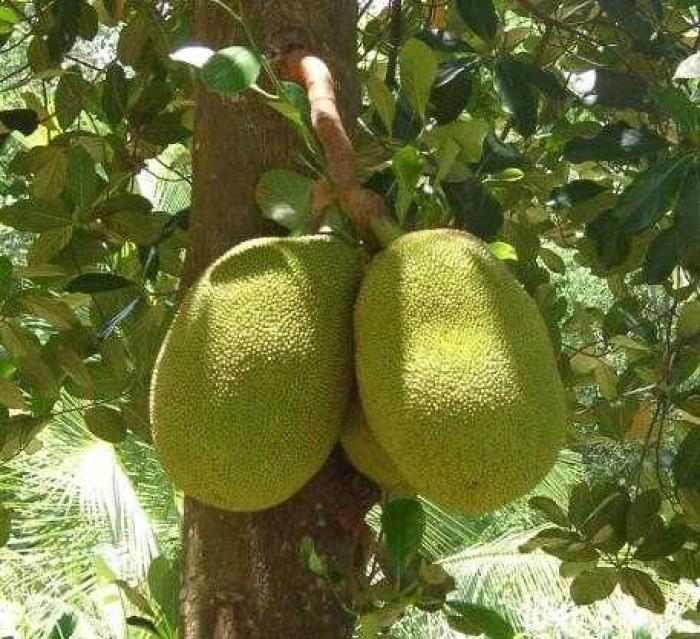 Cây giống mít không hạt, cây giống chuẩn f1. cây ra quả sau 2,5 năm trồng.15