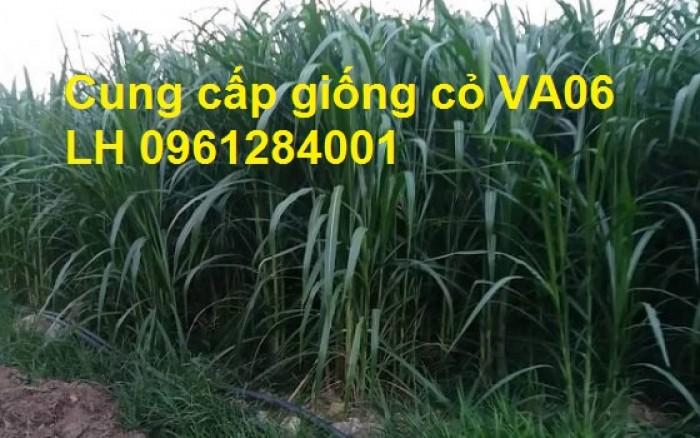Chuyên cung cấp giống cỏ VA06, giống cỏ chăn nuôi, số lượng lớn, giá cực chuẩn, bao chất lượng6