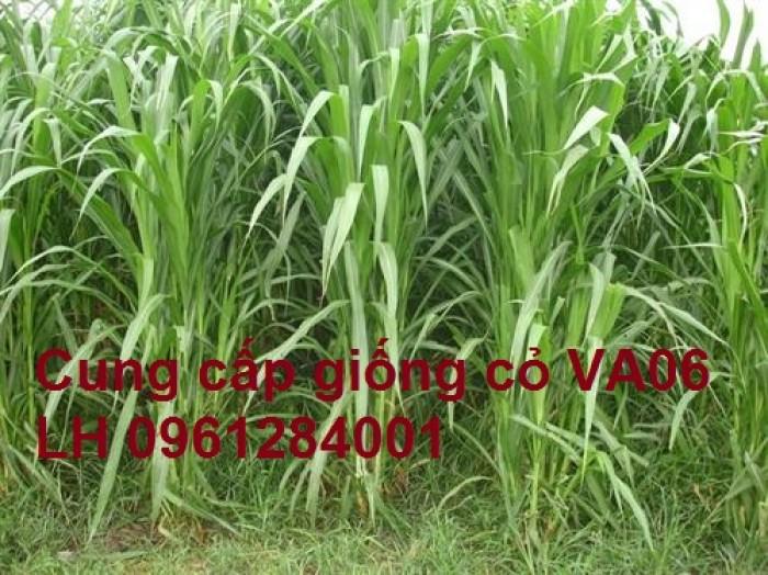 Chuyên cung cấp giống cỏ VA06, giống cỏ chăn nuôi, số lượng lớn, giá cực chuẩn, bao chất lượng3