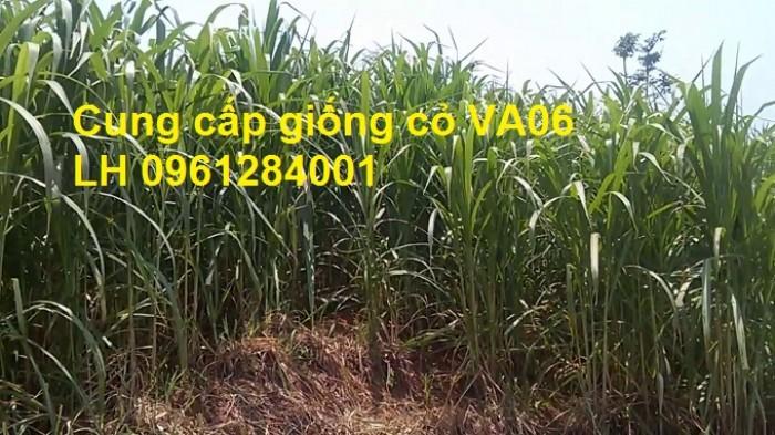 Chuyên cung cấp giống cỏ VA06, giống cỏ chăn nuôi, số lượng lớn, giá cực chuẩn, bao chất lượng5