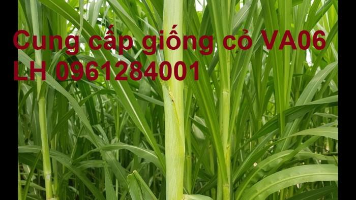 Chuyên cung cấp giống cỏ VA06, giống cỏ chăn nuôi, số lượng lớn, giá cực chuẩn, bao chất lượng1
