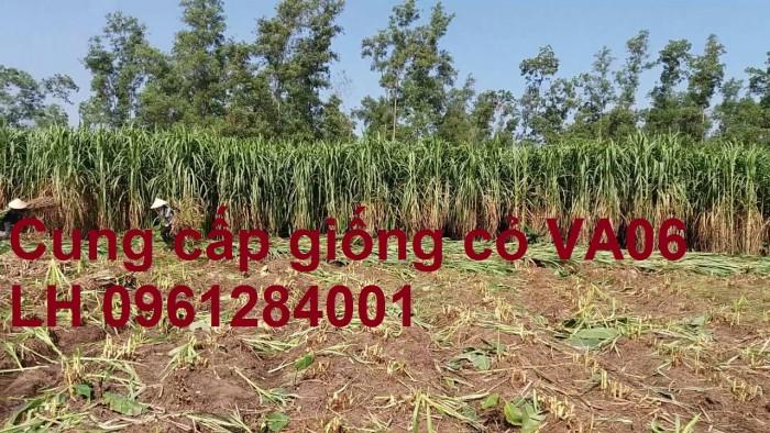 Chuyên cung cấp giống cỏ VA06, giống cỏ chăn nuôi, số lượng lớn, giá cực chuẩn, bao chất lượng2