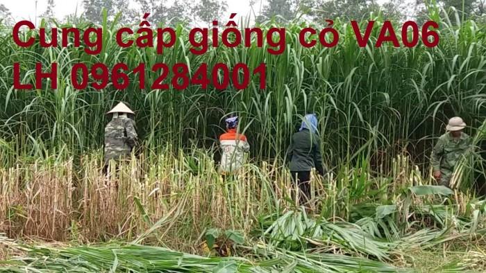 Chuyên cung cấp giống cỏ VA06, giống cỏ chăn nuôi, số lượng lớn, giá cực chuẩn, bao chất lượng4