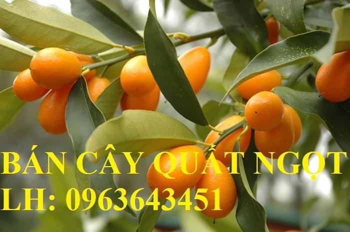 Cung cấp cây giống quất ngọt, cây giống tắc ngọt, cây quất ngọt đang có quả, chuẩn giống, giá tốt6