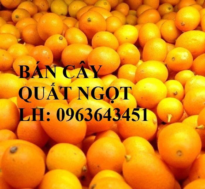 Cung cấp cây giống quất ngọt, cây giống tắc ngọt, cây quất ngọt đang có quả, chuẩn giống, giá tốt2