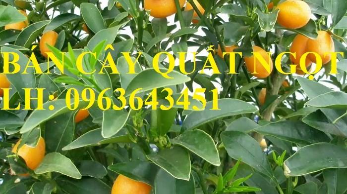 Cung cấp cây giống quất ngọt, cây giống tắc ngọt, cây quất ngọt đang có quả, chuẩn giống, giá tốt8