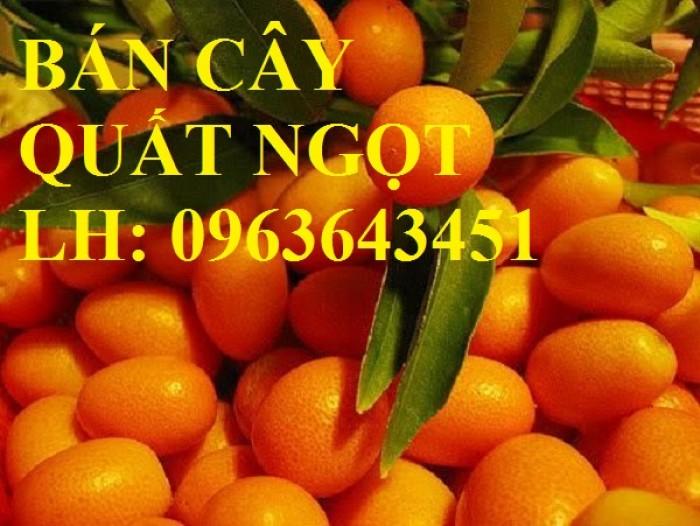 Cung cấp cây giống quất ngọt, cây giống tắc ngọt, cây quất ngọt đang có quả, chuẩn giống, giá tốt5
