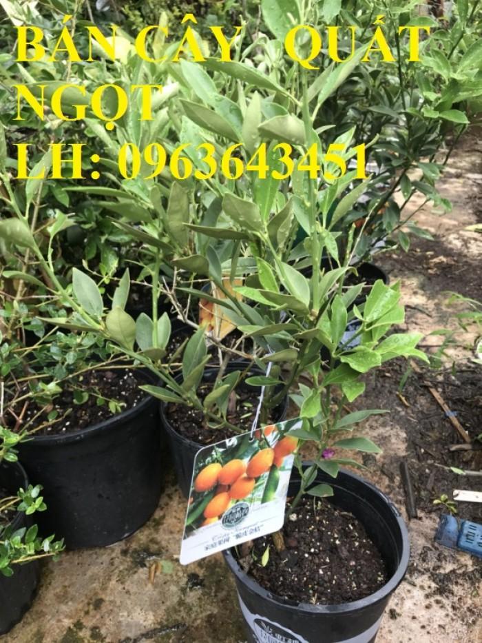 Cung cấp cây giống quất ngọt, cây giống tắc ngọt, cây quất ngọt đang có quả, chuẩn giống, giá tốt0